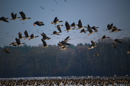 wild-geese-1148899_960_720